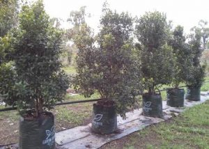 Syzygium / Lilly Pilly mature